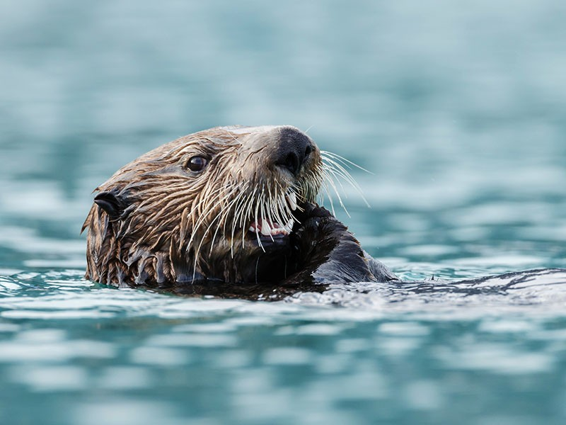 Fishing industry groups wanted to revive a harmful program that excluded otters from parts of their coastal habitat—but Earthjustice fought back.