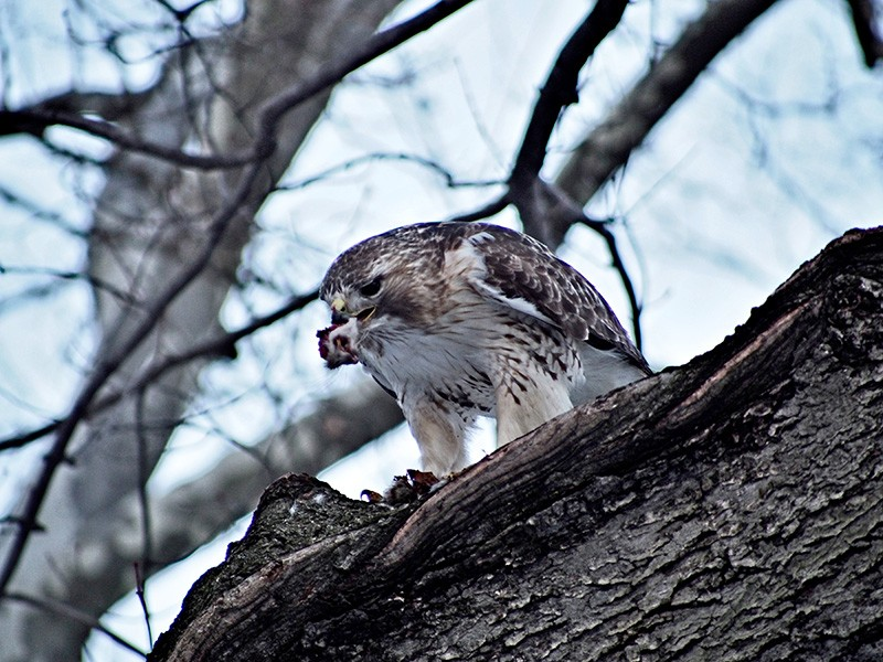 Pale Male, New York City's famed red-tailed hawk, dines on a rat in Feburary of 2014.