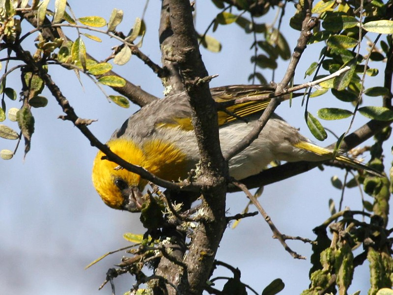 The endangered palila feeds exclusively on seeds of the mamane tree on Mauna Kea.