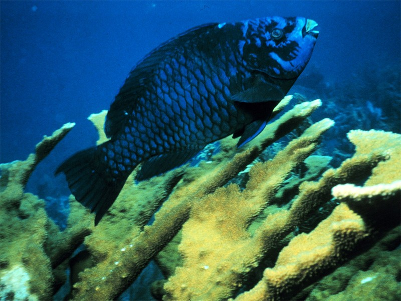 Parrotfish protect the coral reef ecosystem by grazing on algae that otherwise would smother the reef.