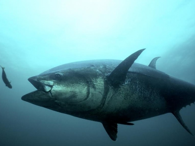 a close up view of an Atlantic bluefin tuna underwater