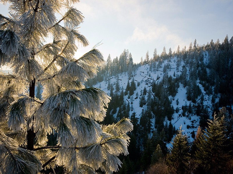 Frosted Needles on a tree overlooking in the Kootenai National Forest