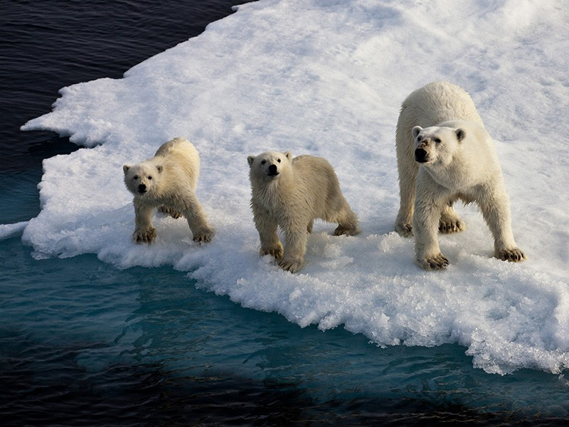 Polar bear mother with two cubs on an ice floe in the Arctic Ocean.