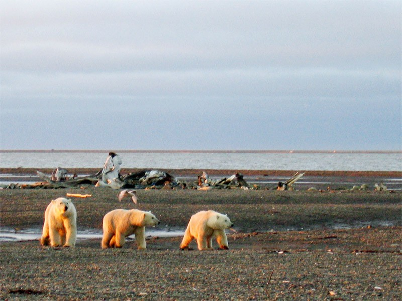 The Beaufort and Chukchi Seas in the Arctic are home to about one in five of the world's remaining polar bears.