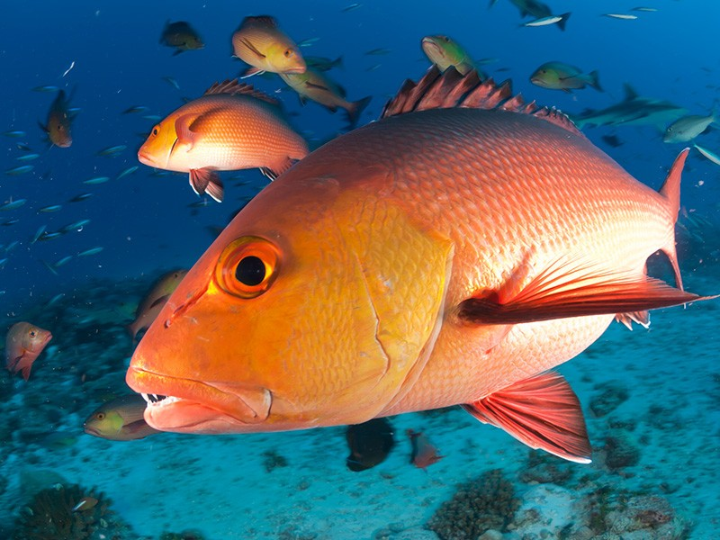 Red snapper.