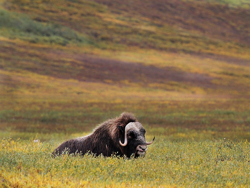 Musk ox, grizzlies, wolverines, and tens of thousands of caribou call the Arctic National Wildlife Refuge home.