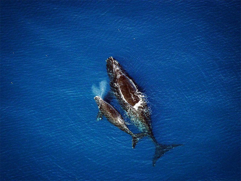 A North Atlantic right whale and calf.