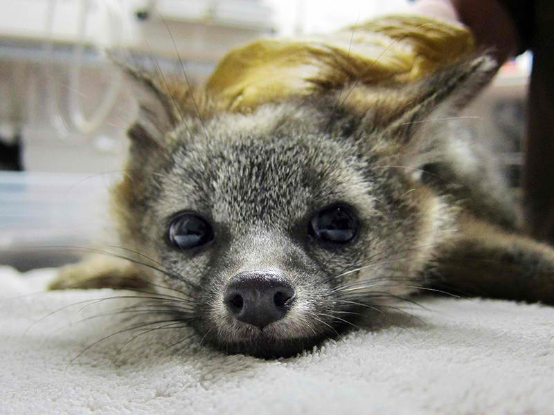 A gray fox suffering from rodenticide poisoning.