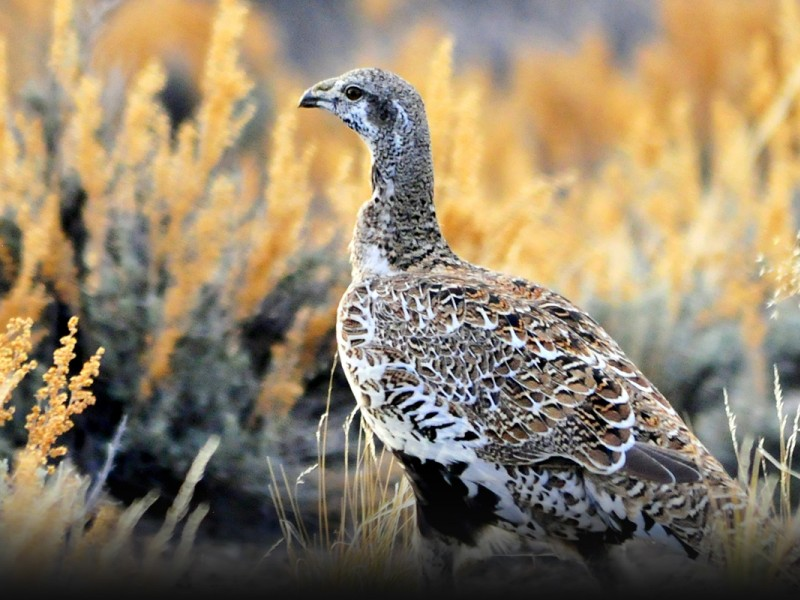Today, the Endangered Species Act is under fire, and species across the country need your help—including the sage grouse.