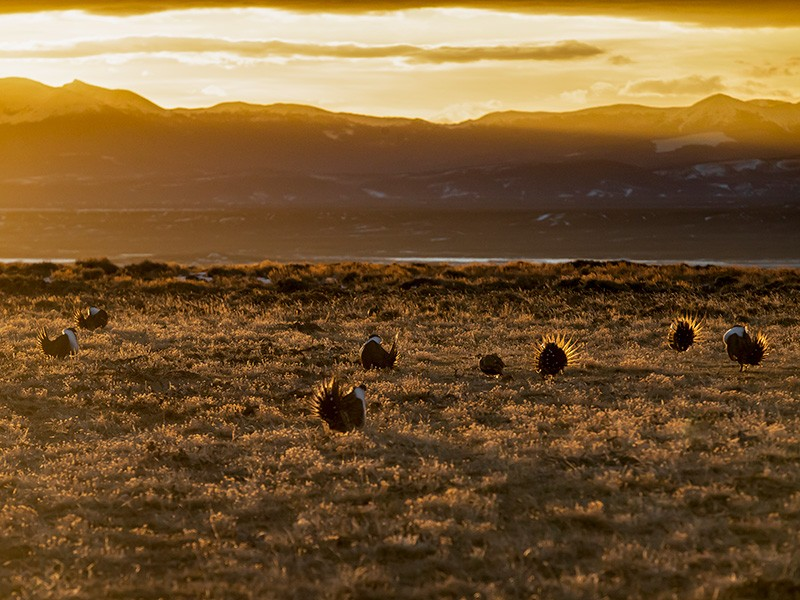 A sage-grouse lek at sunrise. The protection of sage-grouse habitat was the result of one of the largest conservation efforts in U.S. history.