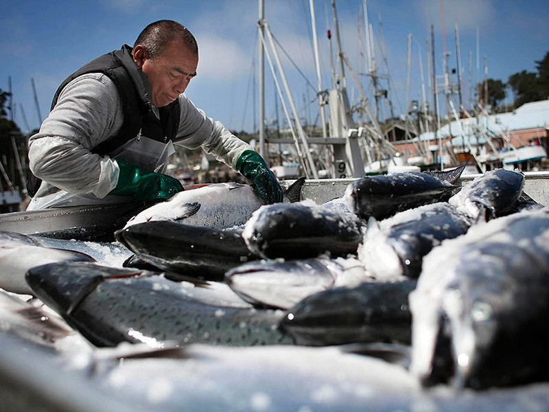 A fisherman unloads Chinook salmon from fishing boats in Ft. Bragg, California.