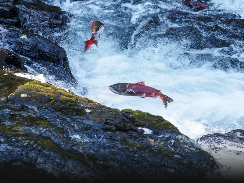 Salmon jump up a river to spawn the next generation.