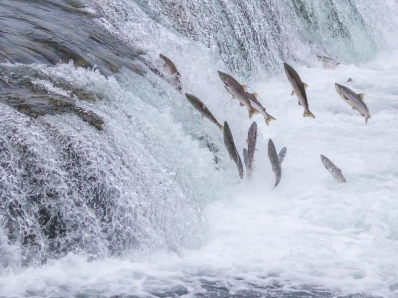 Wild salmon jumping up a river during spawning season.