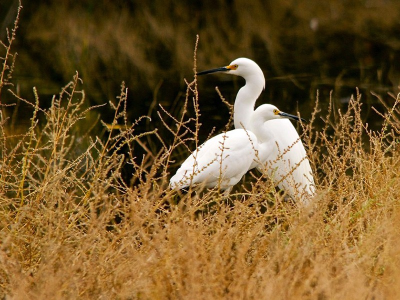 Snowy egrets in the San Jacinto Wildlife Area.