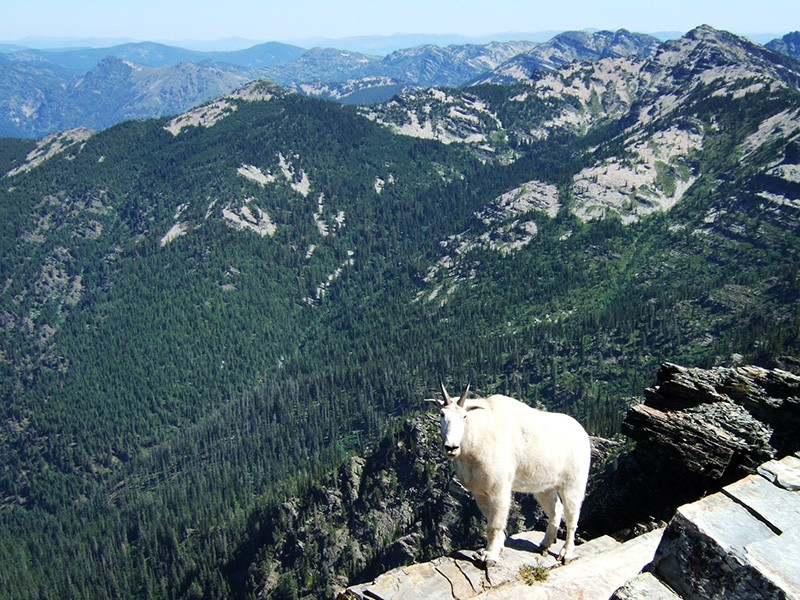 Mountain goat on top of Scotchman Peak, Idaho.