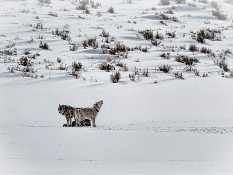 Wolves in Lamar Valley, Yellowstone National Park. As the gray wolf's reintroduction has illustrated, healthy ecosystems are interconnected, holistic entities requiring rich biodiversity, including the presence of apex predators such as wolves.