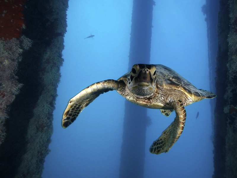 A juvenile green sea turtle swims underneath the Midway Island Pier in the Papahānaumokuākea Marine National Monument. This already threatened species would be harmed if President Trump allowed longline fishing in this area.