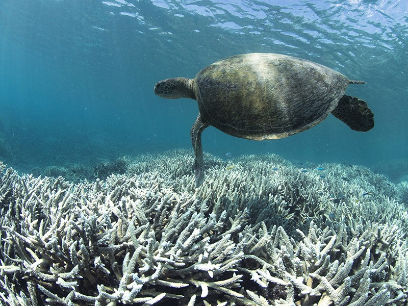 A sea turtle swims over bleached coral on Heron Island in the Great Barrier Reef.