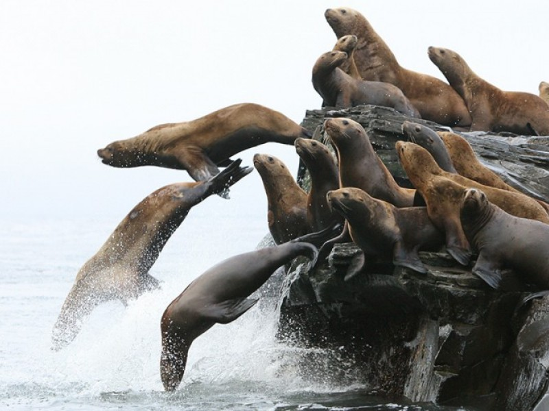 Photo of Steller sea lions jumping from a rock ledge into the Northern Pacific Ocean