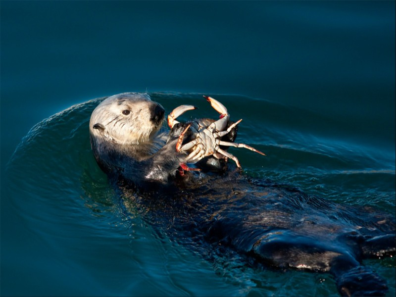 Sea otter dines on a crab.