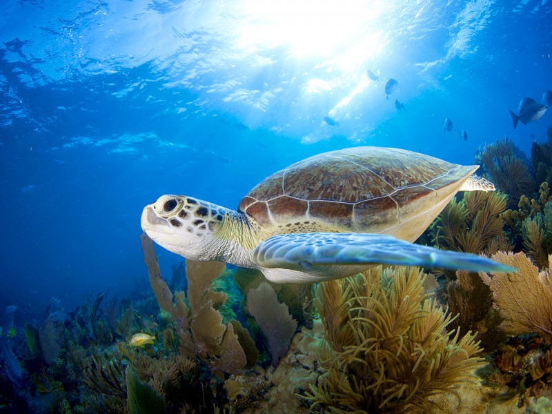 Photo of a sea turtle swimming in the Florida Keys.