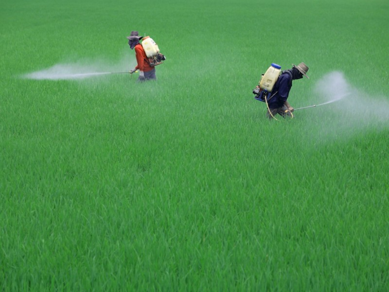 Farmer spraying pesticide in paddy field