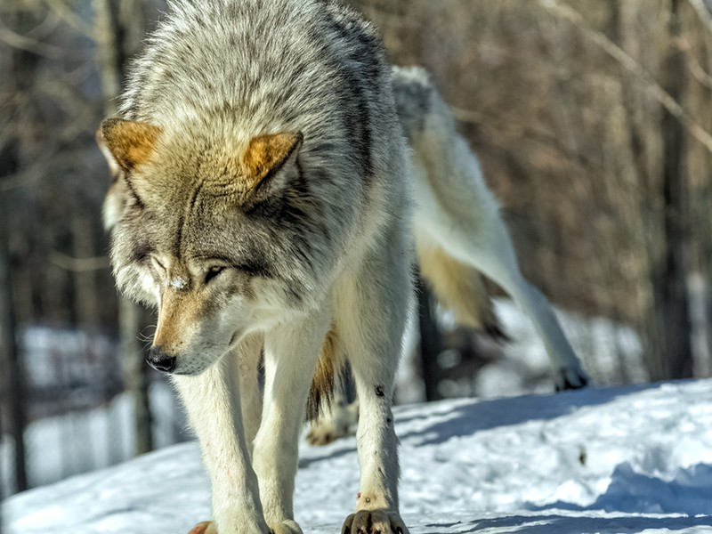 A gray wolf in North America.