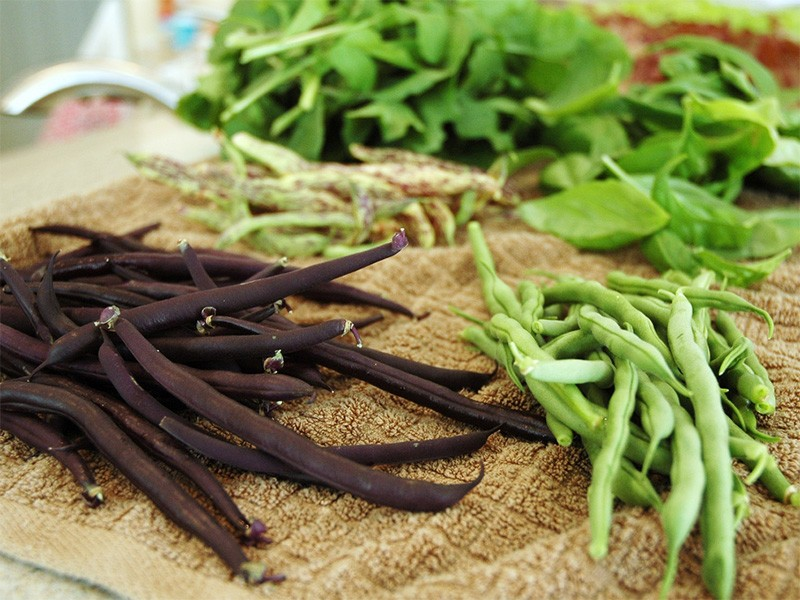Harvested snap beans.