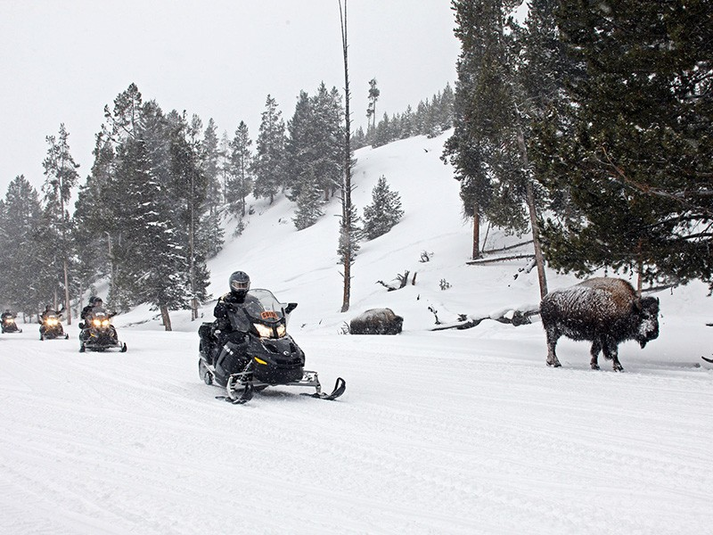 Snowmobilers drive near bison in Yellowstone National Park.