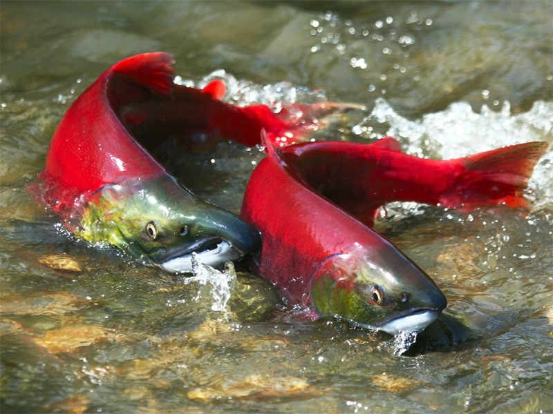 Wild male and female red salmon in river before spawning in symmetric position.