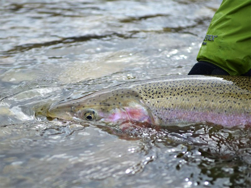 A male steelhead ready for release.