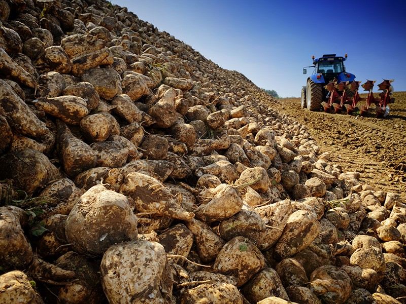 Sugar beets in an agricultural field.