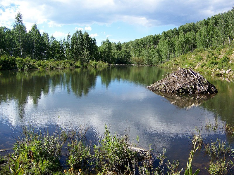 A beaver lodge by the Sunset Trail. The trail is a valuable linkage between the West Elk Wilderness Area and lowland forests along the North Fork of the Gunnison River.