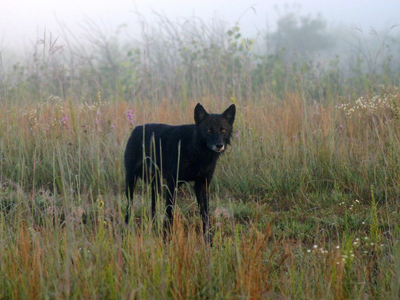 A wolf in Necedah National Wildlife Refuge.