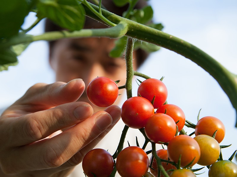 A man picks tomatoes in a field.