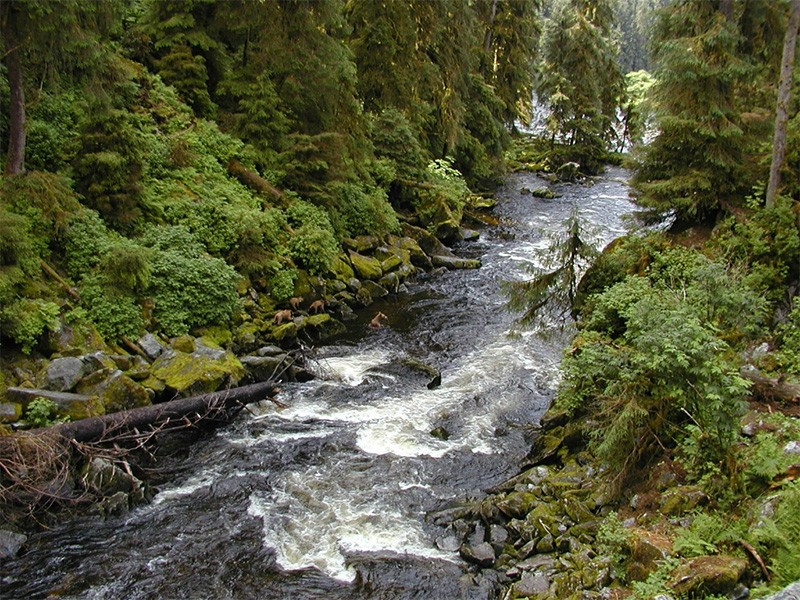 Bears hunt for salmon in Alaska's Tongass National Forest.