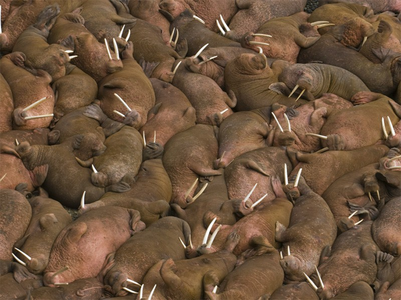 Thousands of male walruses (Odobenus rosmarus) sunbathing together in Bristol Bay.