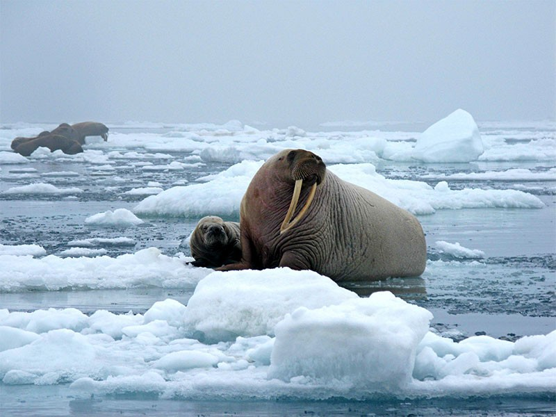 Walrus in the Arctic's Chukchi Sea.