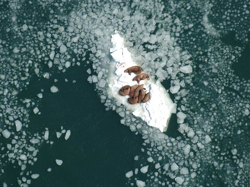 Walrus cows resting on sea ice south of Nunivak Island, Alaska, while nursing their calves.