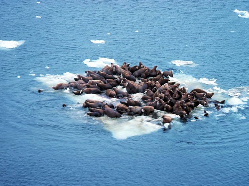 Walrus hauled out on Bering Sea ice.