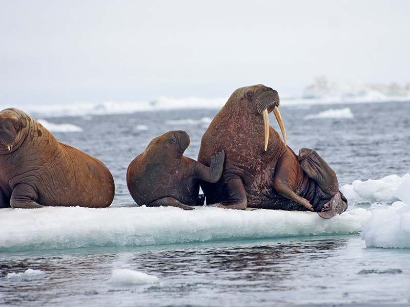 Walrus female and pup on an ice floe in the Chukchi Sea.