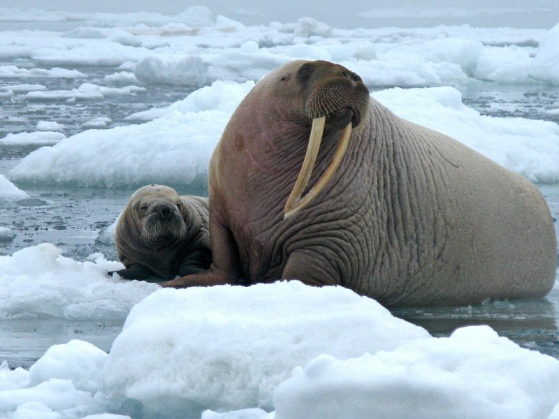 Walruses in the Chukchi Sea. The Chukchi is home to a rich variety of marine life.