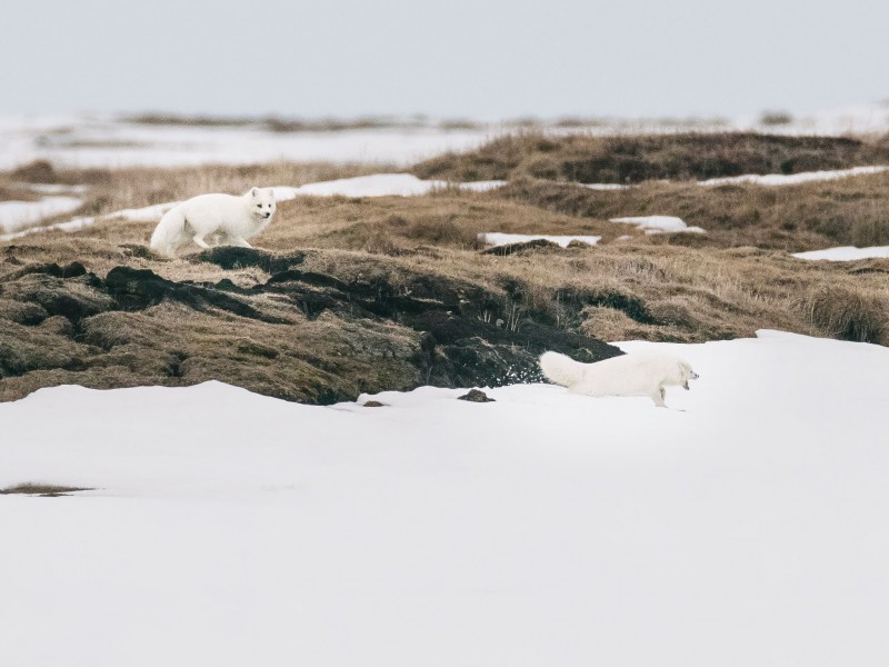 An arctic fox in the Western Arctic.