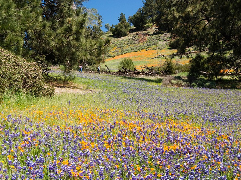 Poppies and lupines bloom in the Los Padres National Forest on California's central coast.