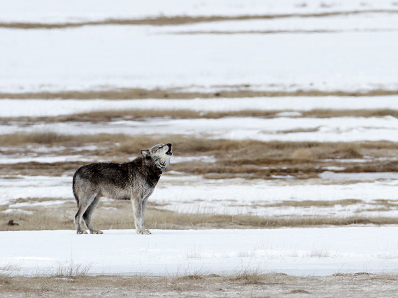 Alpha male (712) of the Canyon pack in the Lower Geyser Basin, Yellowstone National Park.