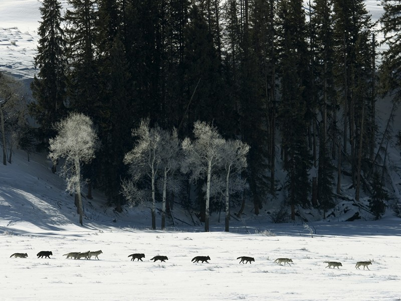 Yellowstone wolf pack David Parsons/iStock