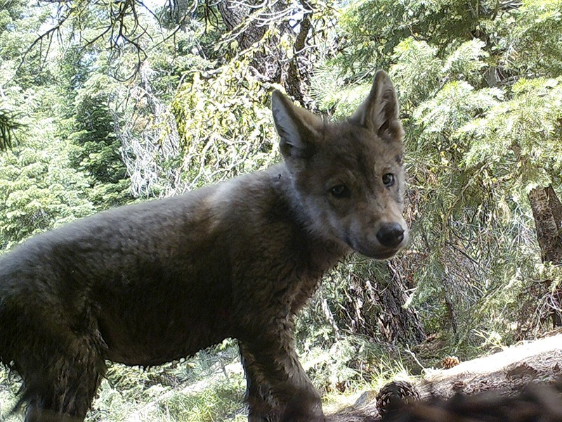 Wolf pup in California's Lassen National Forest in 2017. A remote camera operated by the U.S. Forest Service snapped this photo. A recent court ruling upheld protections for gray wolves as they return to the Golden State.