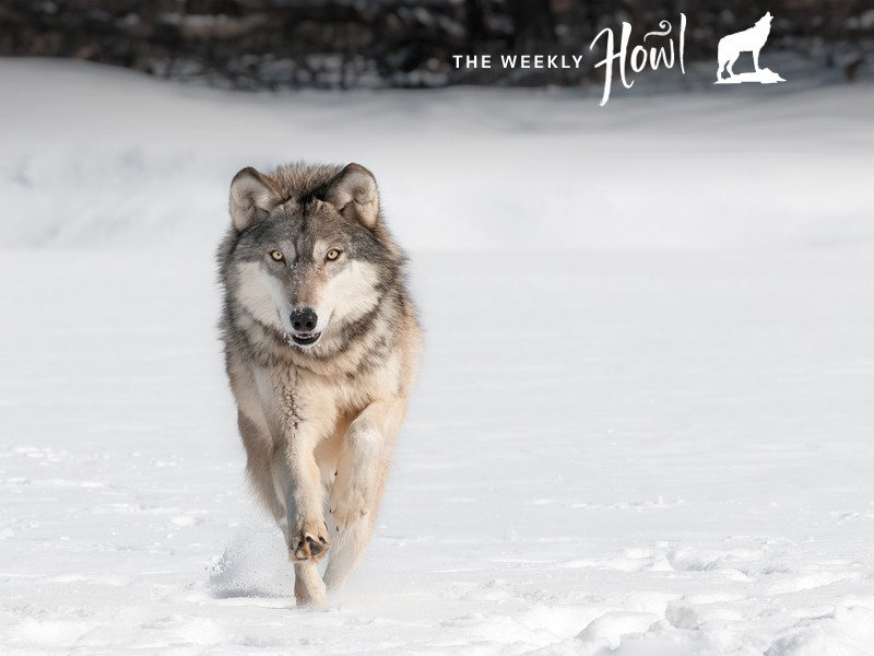The lame duck Congress looks to take a few last swings at wolves on its way out the door.