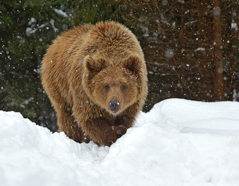 A mine proposed in Montana threatens grizzly bears.