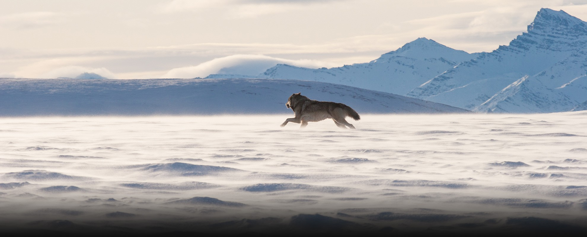 A wolf in the Arctic National Wildlife Refuge.
